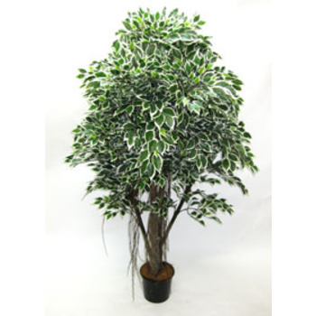 Double Varigated Ficus Tree
