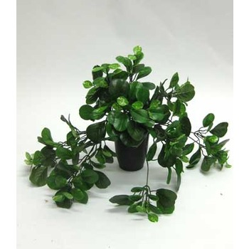 Pepperomia trailing Plant
