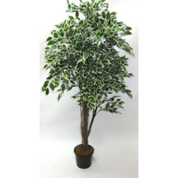 Varigated Ficus-Hire