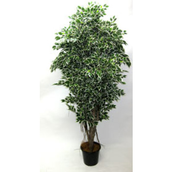 UV Stabilised Double Varigated Ficus Tree