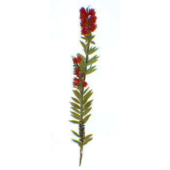 Bottlebrush Stem