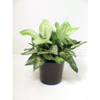 UV Double Caladium Shrub