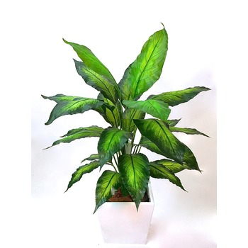 Dieffenbachia in  Inca Collection