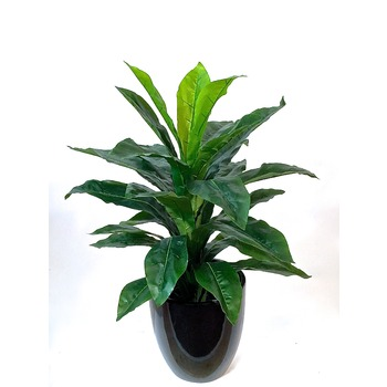 Dracena Arcadia Collection