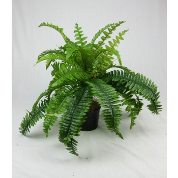 Boston Fern Potted