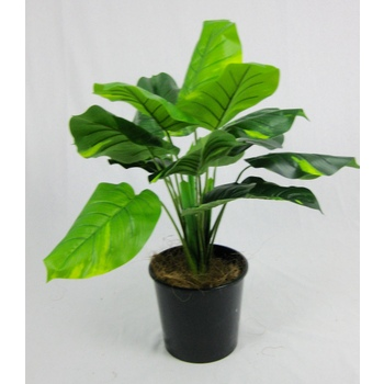 Pothos Plant in pot