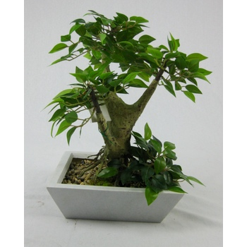 Mini Ficus Bonsai