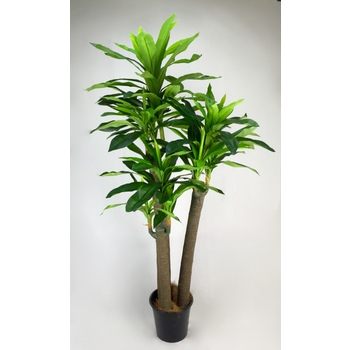 Green Holland Dracaena