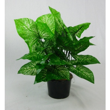 UV Double Caladium Plant