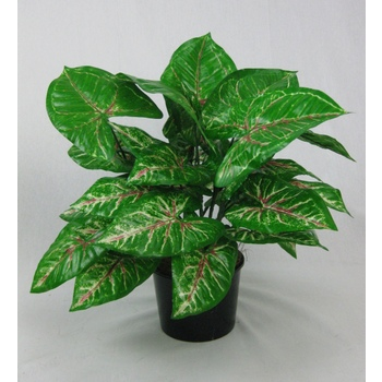 UV Double Red/Green Caladium