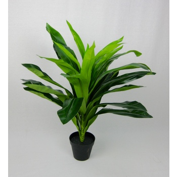Green Dracaena in pot