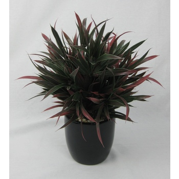 Double Burgundy Grass