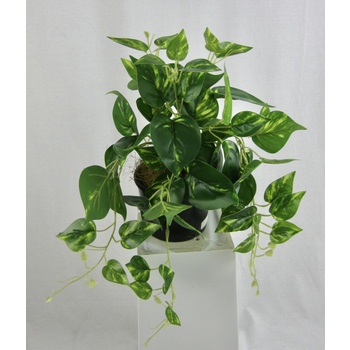 Potted Variegated Pothos