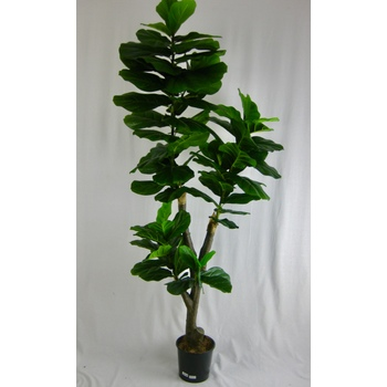 Fiddleleaf Tree