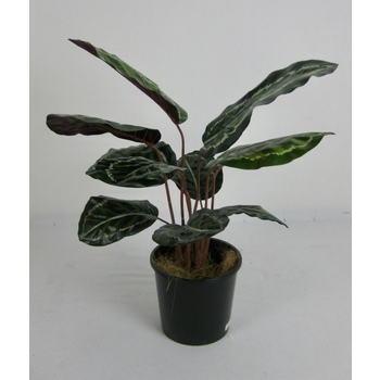 Calathea 2 Stem Bush