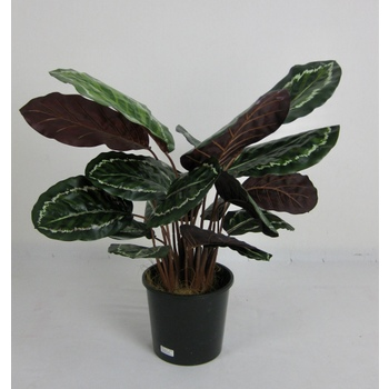 4 Stem Calathea Bush