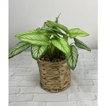 Striped Dieffenbachia