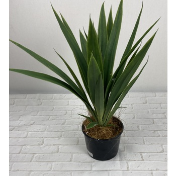 Yucca Head Potted