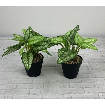 Striped Dieffenbachia Promo