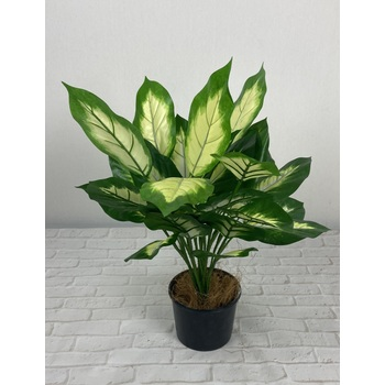 Double Dieffenbachia Potted